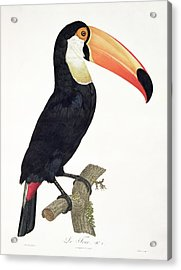 Toucan Acrylic Print by Jacques Barraband