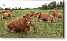 Tough Cows Acrylic Print by Olivier Le Queinec