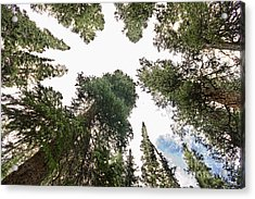 Towering Pine Trees Acrylic Print by James BO  Insogna