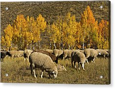 Trailing Of The Sheep Festival, Autumn Acrylic Print by Michel Hersen