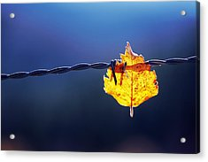 Trapped Leaf On Barbed Wire Acrylic Print by Mikel Martinez de Osaba