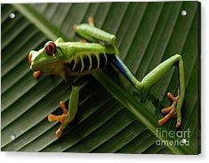 Tree Frog 16 Acrylic Print by Bob Christopher