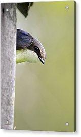 Tree Swallow Closeup Acrylic Print by Christina Rollo