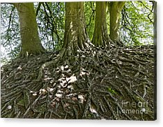 Trees And Roots Wiltshire England Acrylic Print by Robert Preston