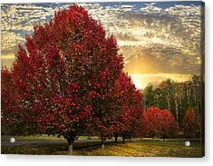 Trees On Fire Acrylic Print by Debra and Dave Vanderlaan