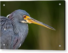 Tricolored Heron Closeup Acrylic Print by Andres Leon