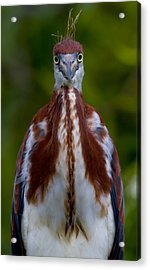 Tricolored Heron Faceoff Acrylic Print by Andres Leon