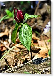 Trillium Deluxe Acrylic Print by Marty Koch