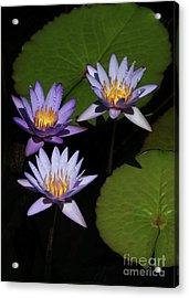 Trio Of Purple Water Lilies Acrylic Print by Sabrina L Ryan