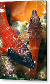 Triplefin Blennies Acrylic Print by Science Photo Library
