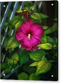 Tropical Hibiscus Acrylic Print by Brenda Bryant