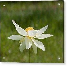 Tropical Lotus Flower Acrylic Print by Kim Hojnacki