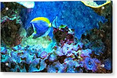 Tropical Seas Powder Blue Tang  Acrylic Print by Rosemarie E Seppala