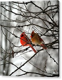 True Love Cardinal Acrylic Print by Peggy  Franz