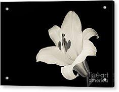 Trumpet Lily Acrylic Print by Oscar Gutierrez