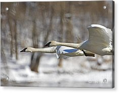 Trumpeter Swan Flyby  Acrylic Print by Tim Grams