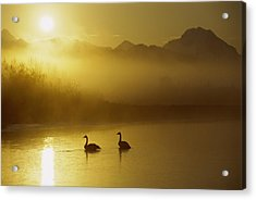 Trumpeter Swan Pair At Sunset Acrylic Print by Michael Quinton