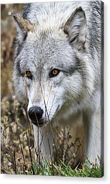 Trying To Hide D9884 Acrylic Print by Wes and Dotty Weber
