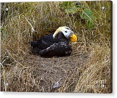 Tufted Puffin Acrylic Print by Mike  Dawson