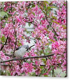 Tufted Titmouse In A Pear Tree Square Acrylic Print by Bill Wakeley