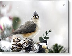 Tufted Titmouse In The Snow Acrylic Print by Christina Rollo