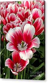 Tulip Annemarie Acrylic Print by Jasna Buncic