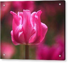 Tulip At Attention Acrylic Print by Rona Black