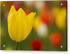 Tulip Bokeh Acrylic Print by Nick  Boren