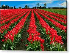 Tulip Cornucopia Acrylic Print by Inge Johnsson