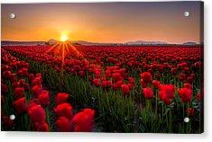 Tulip Fields Acrylic Print by Alexis Birkill