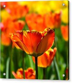 Tulip Acrylic Print by Gynt