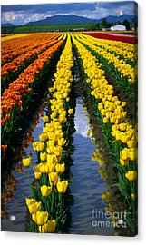 Tulip Reflections Acrylic Print by Inge Johnsson