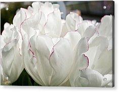 Tulip (tulipa 'diamond Jubilee') Acrylic Print by Bjanka Kadic