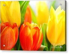Tulips Acrylic Print by Elena Elisseeva