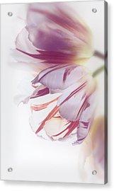 Tulips Acrylic Print by Kim Aston
