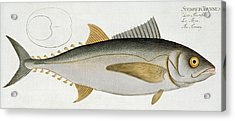 Tuna Acrylic Print by Andreas Ludwig Kruger