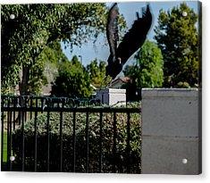 Turkey Vulture 5 Acrylic Print by Steve Knievel