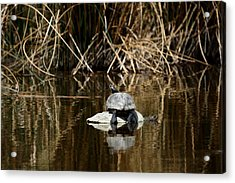 Turtle On Turtle Acrylic Print by Ernie Echols