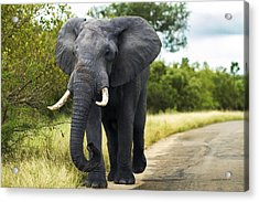 Tusker With Attitude Acrylic Print by Peter Turner
