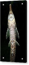 Twig Catfish Or Stick Catfish Acrylic Print by Nigel Downer