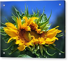 Twisted Sunflower Acrylic Print by Gail Butler