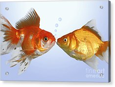 Two Fish Kissing Fs502 Acrylic Print by Greg Cuddiford