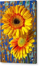 Two Golden Mums Acrylic Print by Garry Gay