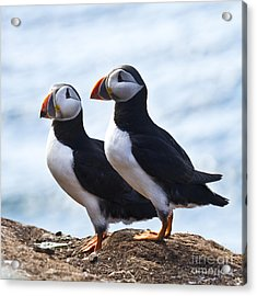 Two Puffins Just Landed On Hornoya Acrylic Print by Heiko Koehrer-Wagner