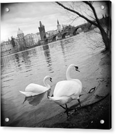 Two Swans In A River, Vltava River Acrylic Print by Panoramic Images