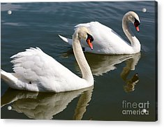 Two Swimming Swans Acrylic Print by Carol Groenen