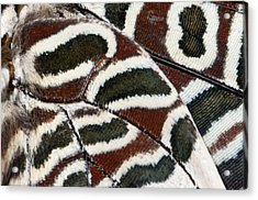 Two-tailed Pasha Butterfly Acrylic Print by Nigel Downer