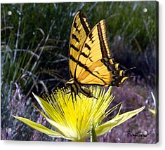 Two-tailed Swallowtail Acrylic Print by David Salter