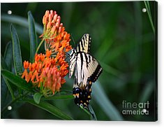 Two-tailed Swallowtail Acrylic Print by Holden Parker