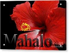 Ula Anoano Hanohano Red Tropical Hibiscus Mahalo Acrylic Print by Sharon Mau